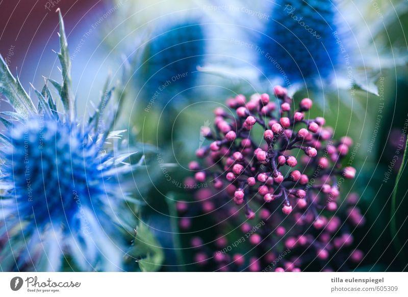 ooo Pflanze Blume Sträucher Blatt Blüte exotisch Garten Blumenstrauß Blühend natürlich Originalität rund schön Spitze stachelig blau rosa Farbe Natur Distel