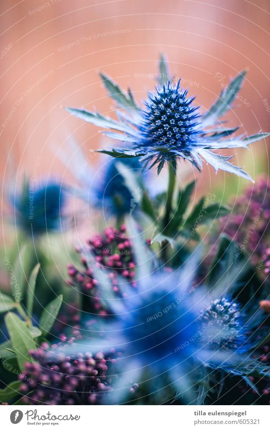 . Natur Pflanze Blume Blatt Blüte Blumenstrauß exotisch natürlich wild blau mehrfarbig Farbe Distel rosa Unschärfe Gesteck Blattgrün Farbfoto Innenaufnahme