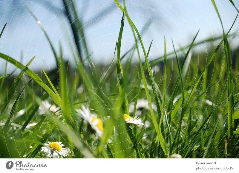 Bevor der große Mäher kam... Wiese Gänseblümchen Gras grün Blumenwiese Halm Sommer Frühling Feld Sonne springen Natur Idylle Pollen Schönes Wetter grassland sun