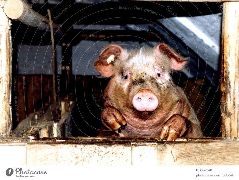 der Beobachter Schwein Nutztier Vieh Tier rosa Geschwindigkeit Schnauze Neugier Sau Eber Grunzen wühlen suhlen Haxe Speck rund Krallen Haustier Pfütze Grube