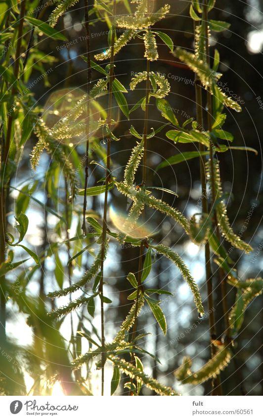 trauerweide Trauerweide Baum Blüte Gegenlicht grün Wald Weide Ast Natur