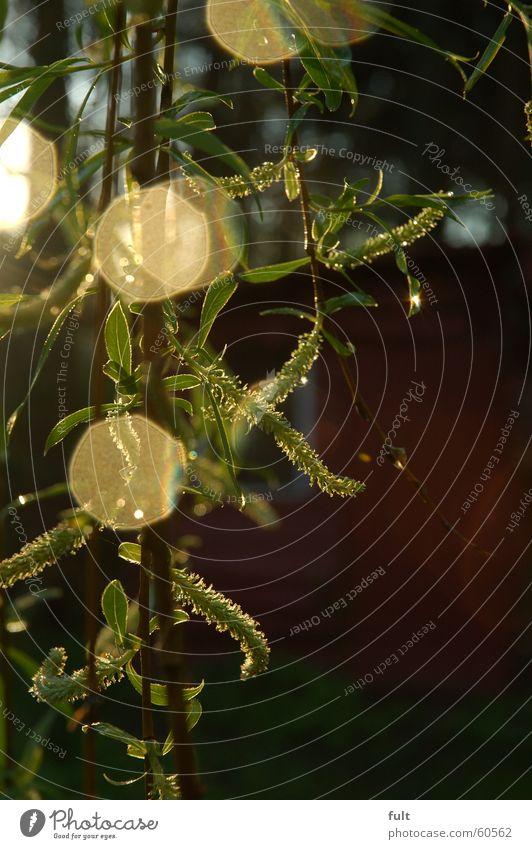 trauerweide Natur Baum grün Wald Blüte Ast Weide Trauerweide