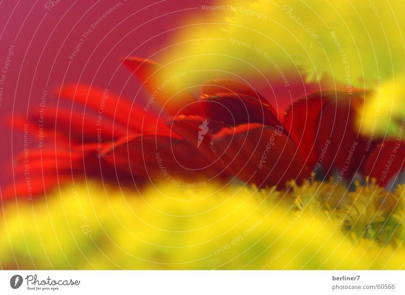 scharfe Gerberablätter... Blume Blüte Blütenblatt Unschärfe gelb rot Makroaufnahme