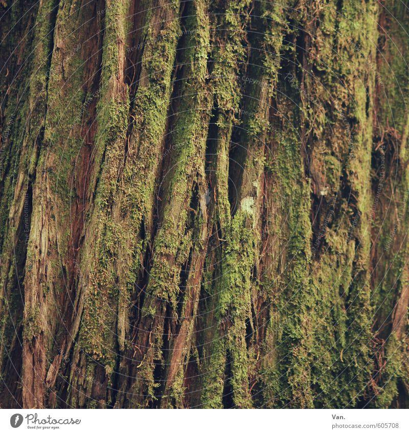 wir werden alle nicht jünger Natur alt grün Pflanze Baum braun Riss Moos Baumrinde