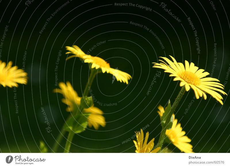 Die Sonne genießen Blume grün Pflanze gelb Wiese springen Frühling Garten Rasen Mai