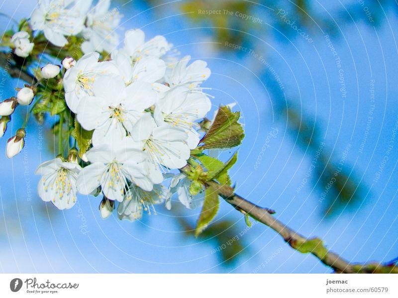 Frühling Blüte Kirschblüten Kirsche weiß Ast Kirschbaum Himmel blau Blütenknospen