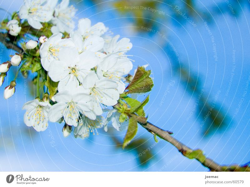 Frühling Himmel weiß blau Blüte Ast Blütenknospen Kirsche Kirschblüten Kirschbaum