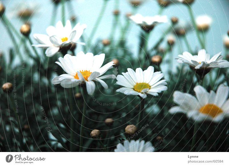 Blumentopf weiß Blüte grün gelb Frühling Stengel Blütenknospen blau Blühend