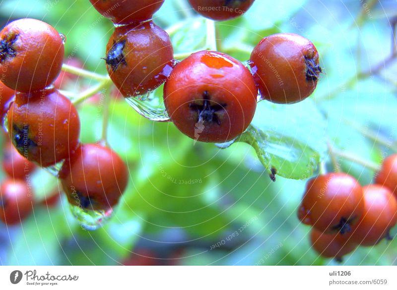 waterdrops Regen Wassertropfen Beeren Makroaufnahme