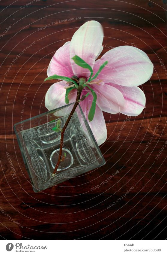 Magnolie Magnoliengewächse Blume Blüte Frühling Sommer Frühlingsgefühle weiß rosa grün Vase Holztisch dunkelbraun Duft Dekoration & Verzierung Wasser Blühend