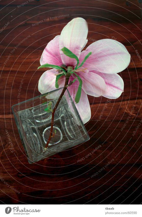 Magnolie Wasser schön weiß Blume grün Sommer Blüte Frühling rosa elegant Dekoration & Verzierung Blühend Duft Vase Frühlingsgefühle Magnoliengewächse
