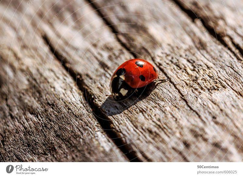 Marienkäfer auf dem Holztisch Natur Tier Zoo Käfer
