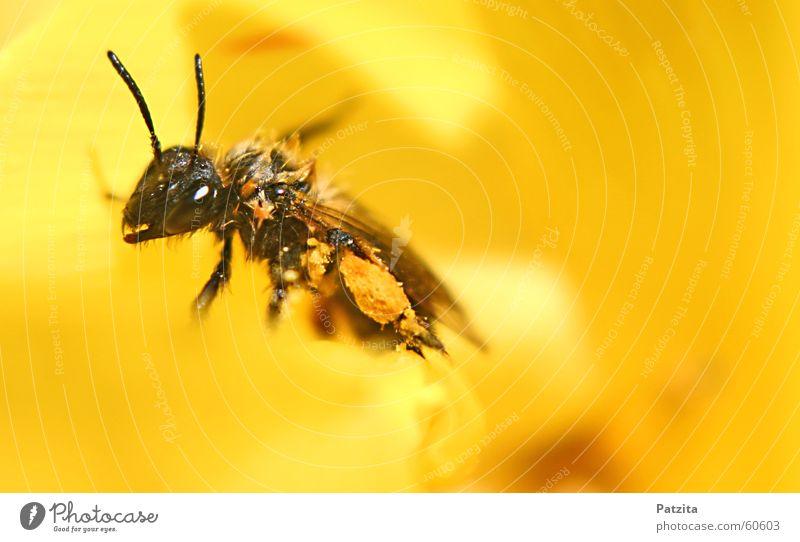Nass aber voll beladen :=) Blume Tier schwarz gelb Wiese Gras Biene Insekt Käfer Honig Imker Biene Maja