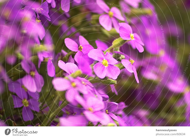 gemeinsam Blüte Blume violett Makroaufnahme Detailaufnahme