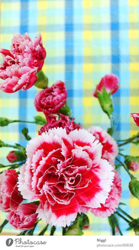 Karo-Blume Natur Blume grün blau Pflanze rot gelb kariert intensiv Nelkengewächse
