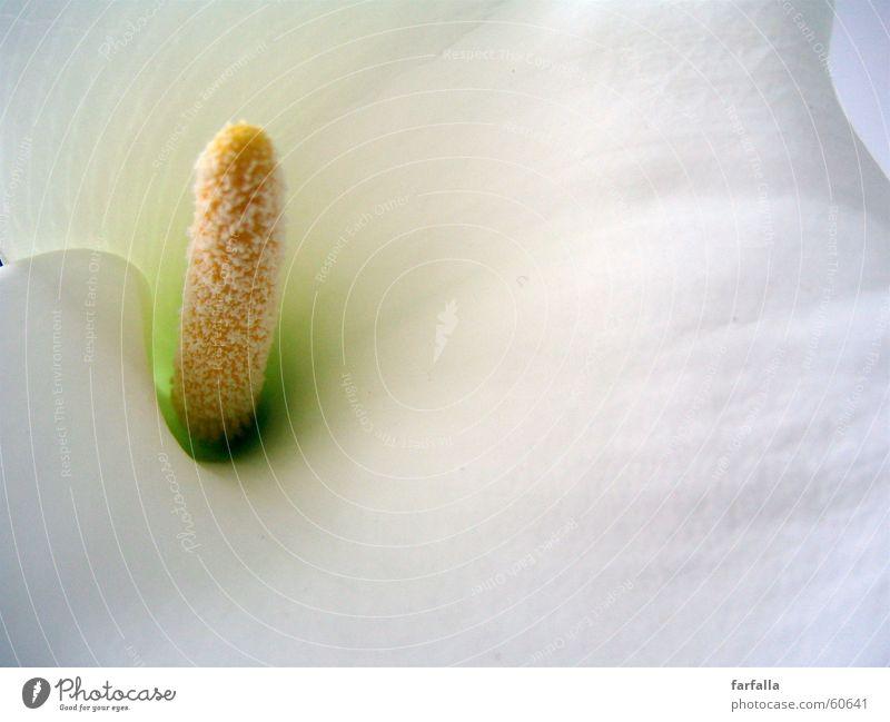callas lily Lilien weiß Blume Blüte white flower