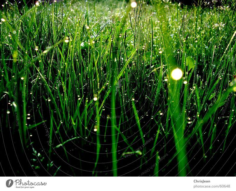 Morgentau 3 Gras Tau Erholung baumeln ruhig Halm Wiese stehen vertikal Sonnenaufgang Naturliebe grün Hintergrundbild Baum Sträucher Pflanze Leben Vielfältig