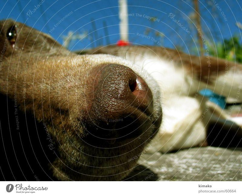 Sniffer Himmel Hund schlafen braun dog nose sleep resting brown sky blue Nase himmel still blau kimako stehen