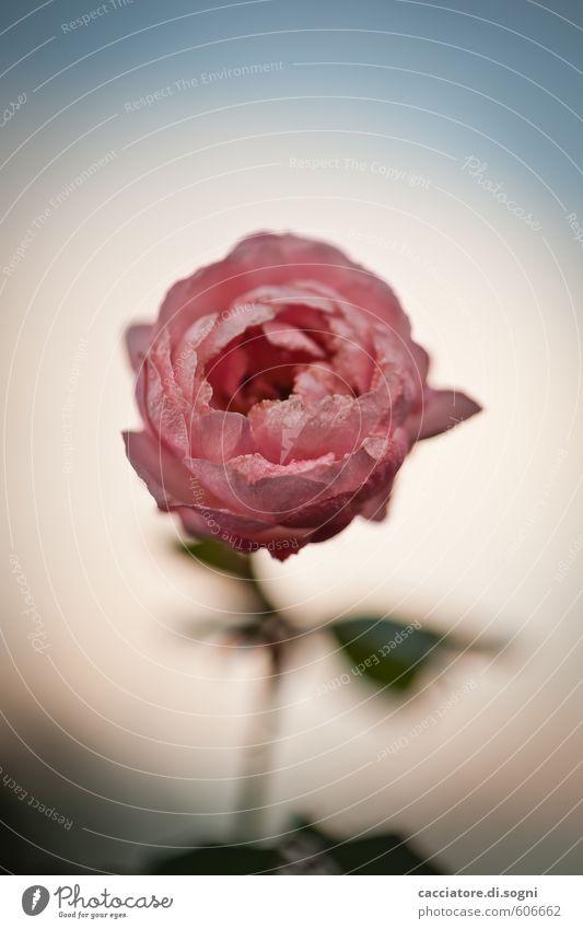 Heute nochmal Natur blau schön weiß Pflanze Einsamkeit ruhig Erotik natürlich rosa Erfolg Schönes Wetter Vergänglichkeit Freundlichkeit Lebensfreude Hoffnung
