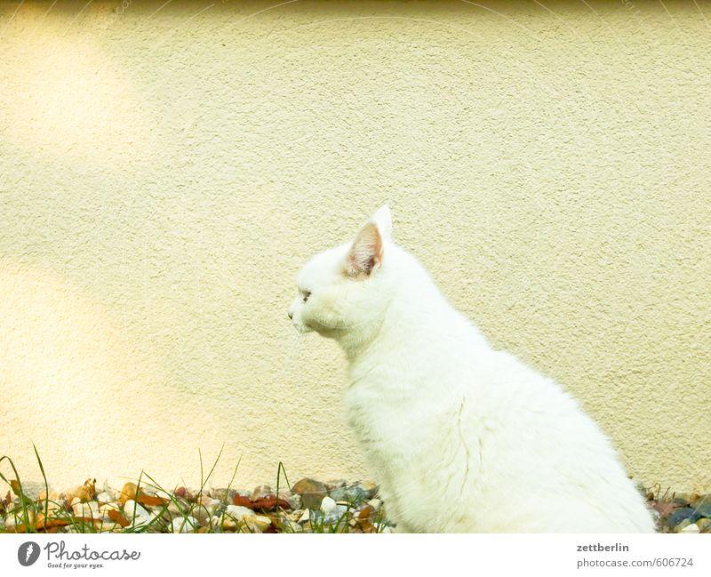 Katze Fell Hauskatze wallroth weiß weißhaarig sitzen warten Wachsamkeit Tier Pelztier beobachten Jagd Haustier Maus Mausefalle Wand Profil Tierporträt Rücken