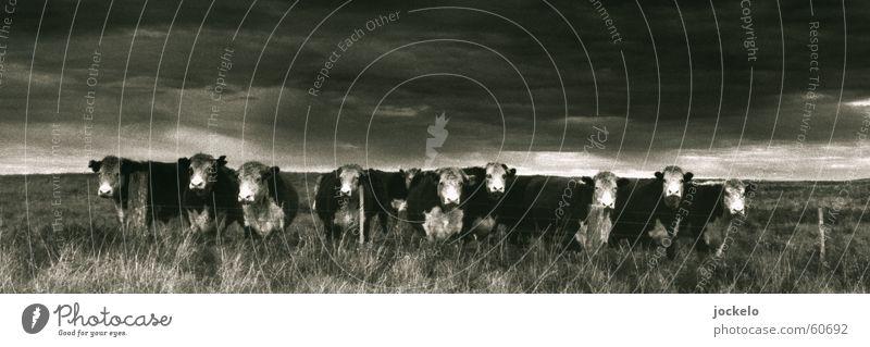 Q10 Australien Kuh Einsamkeit Langeweile Kalb Säugetier Schwarzweißfoto Landschaft Appetit & Hunger Lebendfleisch jomam