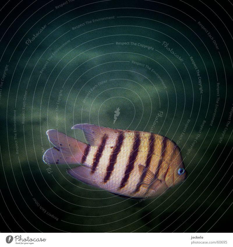 Fish Oz Australien Schnorcheln tauchen Findet Nemo Streifen dunkel See Meer Unterwasseraufnahme Fisch Color Deep jomam