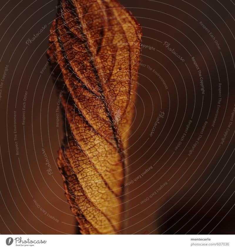 Trockenheit | sehr trocken Umwelt Natur Pflanze Blatt Grünpflanze Wildpflanze alt dunkel dünn authentisch einfach lang nah natürlich weich braun zerbrechlich