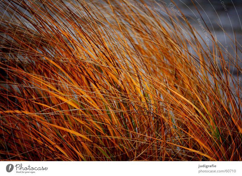 Dünengras Natur Sonne Strand gelb Gras See Sand Linie orange Küste Wind gold Spitze Stengel Halm Stranddüne