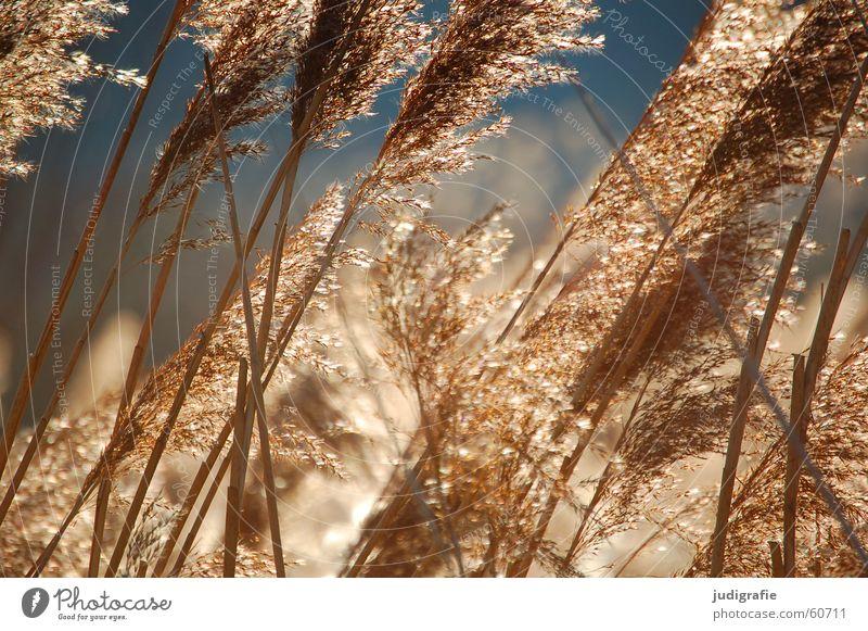 Gras Himmel schön Sonne Erholung gelb See Stimmung orange Wind gold glänzend weich Stengel Schilfrohr Halm