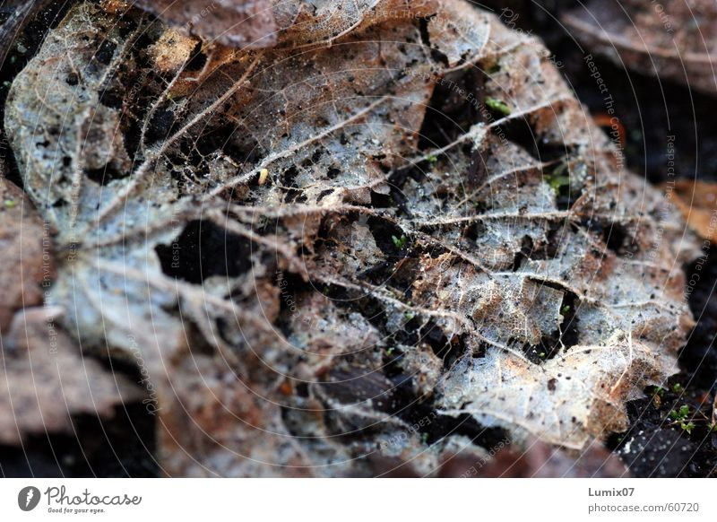 Verfall Blatt verrotten alt braun Kompost verfaulen