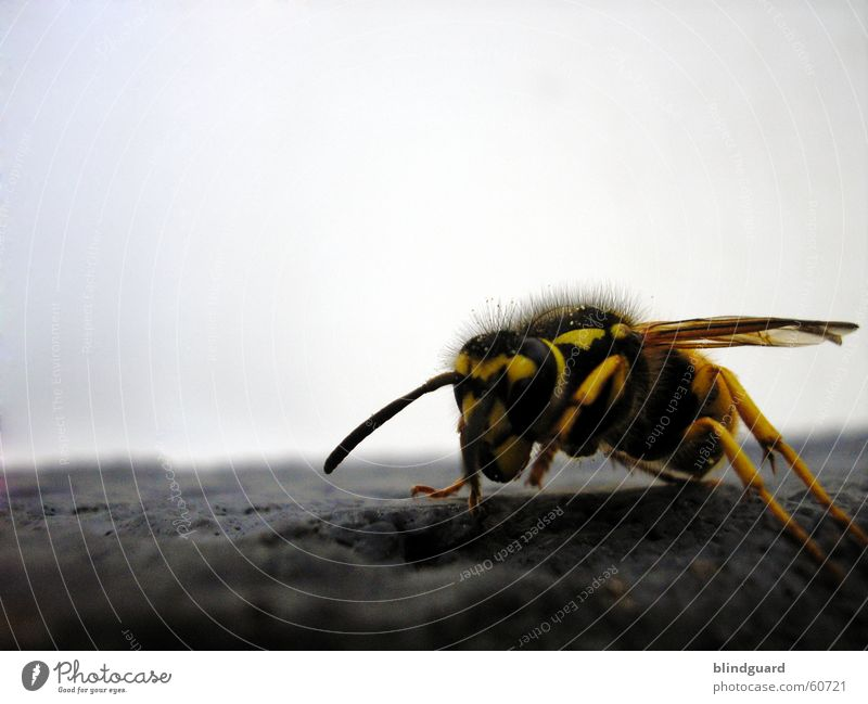 The Yellow-Black-Attack Wespen Biene gelb schwarz Fühler Insekt Makroaufnahme Nahaufnahme wasp bee sting fliegen insect Stachel
