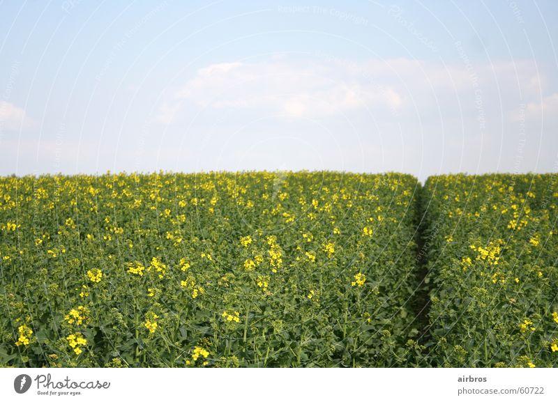 frühling Himmel Sonne Blume Pflanze Sommer gelb Wiese Frühling Getreide Kornfeld