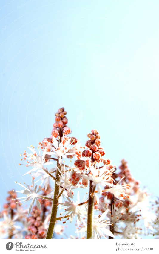 später im Frühling Blüte Blume Doldenblüte Himmel Ferien & Urlaub & Reisen
