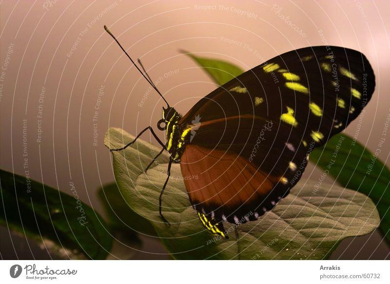 Schmetterling 2 Blatt Flügel Makroaufnahme