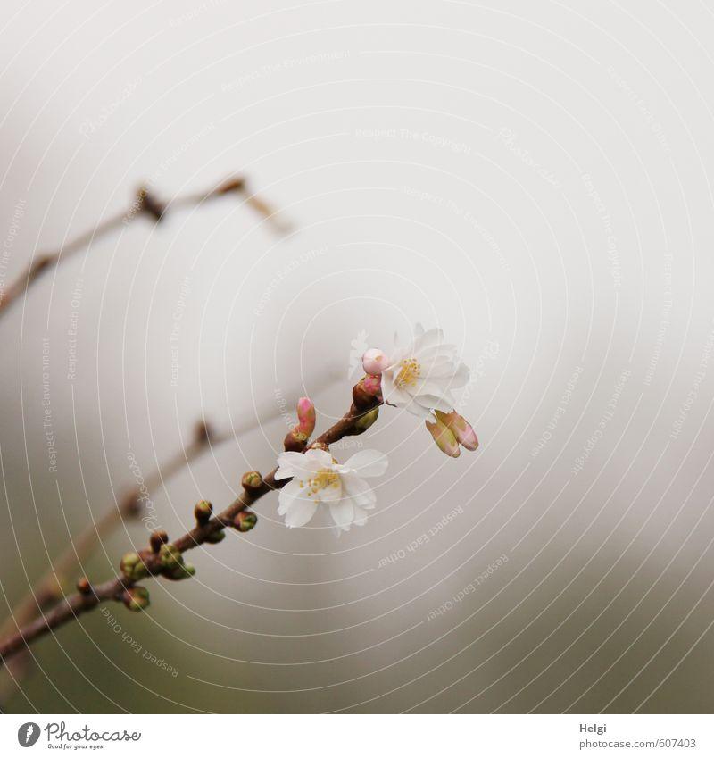 Winterblüten... Umwelt Natur Pflanze Nebel Baum Blüte Blütenknospen Blattknospe Zweig Winterkirsche Garten Blühend Wachstum ästhetisch außergewöhnlich dunkel