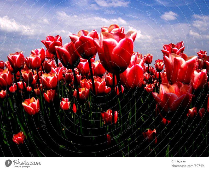 Tulpenfeld Himmel Natur rot Blume Wolken ruhig Erholung Leben Wärme Feld rosa hoch Landwirtschaft Gemälde erleuchten Baumstamm