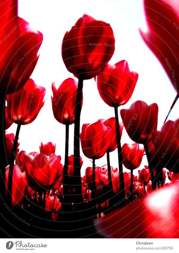Titellos Leben Erholung ruhig Duft Kunst Gemälde Natur Himmel Wolken Wärme Blume Tulpe Feld hoch rosa rot gegen Tulpenfeld Niederrhein erleuchten Halm Agra