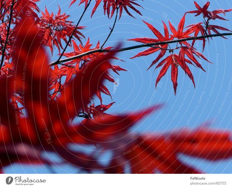 Ahornbaum Himmel Baum rot Blatt Garten Ast Zweig