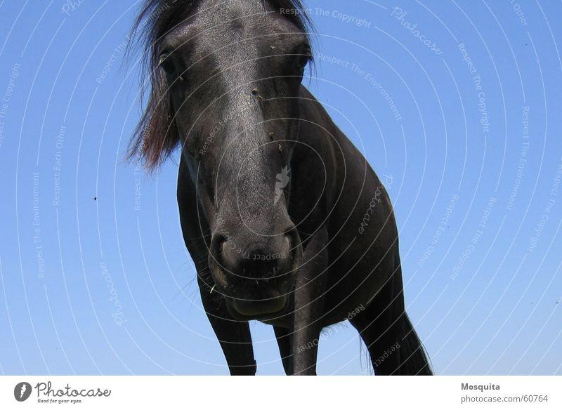 himmlisches Pferd Freizeit & Hobby Sommer Himmel fliegen Neugier blau schwarz Interesse Nüstern Insekt Stechmücke Säugetier Maul jungpferd lästig