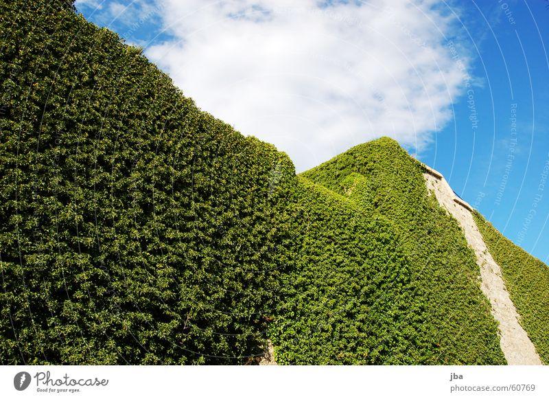Efeumauer Himmel grün blau Pflanze Wolken oben Mauer hoch Turm flach Ranke Festung Cote d'Azur Burgmauer
