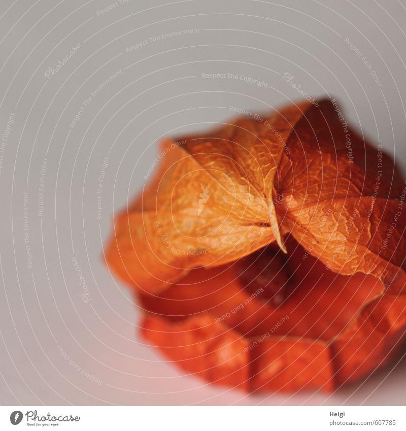 !Trash! | Physalis mit Loch Natur alt Pflanze Leben Herbst natürlich grau klein außergewöhnlich liegen orange Frucht Vergänglichkeit kaputt einzigartig