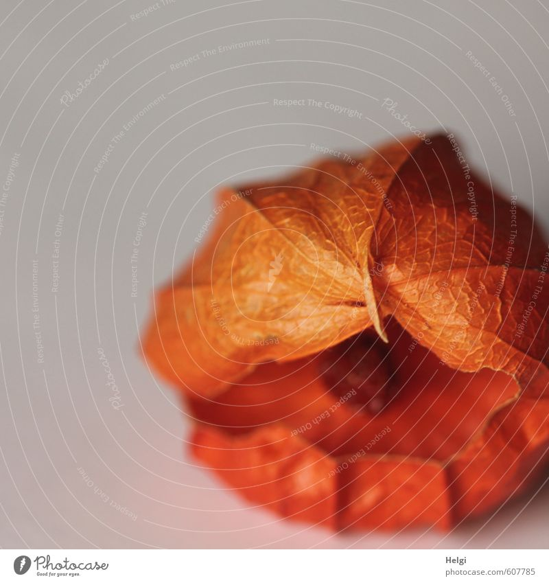 !Trash! | Physalis mit Loch Natur alt Pflanze Leben Herbst natürlich grau klein außergewöhnlich liegen orange Frucht Vergänglichkeit kaputt einzigartig Wandel & Veränderung