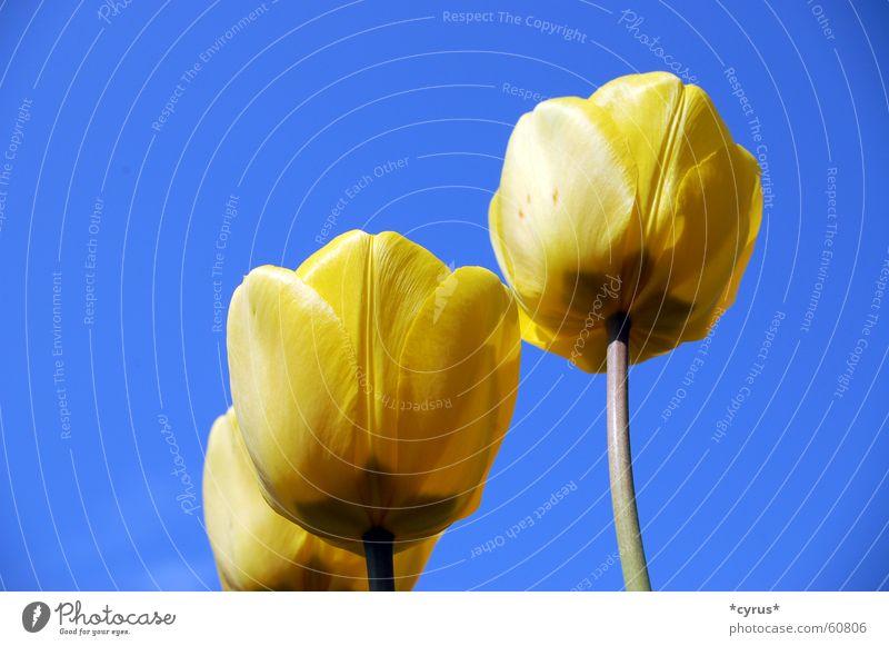 Gelbe Engel blau Pflanze gelb Blüte Frühling Tulpe