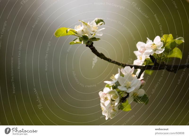 Apfelblüte 1 Natur grün Leben Frühling