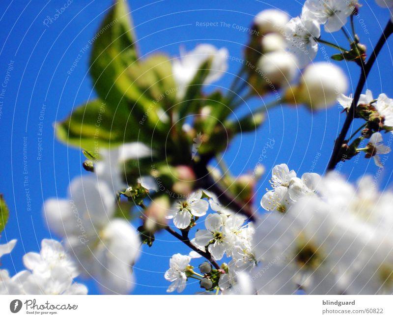 Blütenwolken Geäst Zweige u. Äste Apfel Apfelblüte Himmel blau weiß Blattknospe Blütenknospen Frühling springen rein Obstbaum Frucht Blühend Kirsche Natur