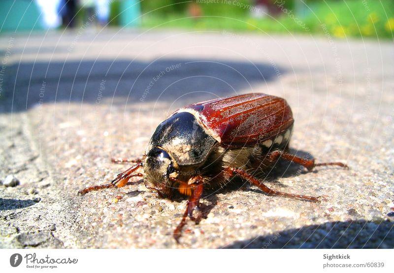My Käfer Insekt Mai Sommer Frühling Spaziergang Tier krabbeln Beton Asphalt Maikäfer wandern Sonne fliegen Stein laufen gepanzert Flügel