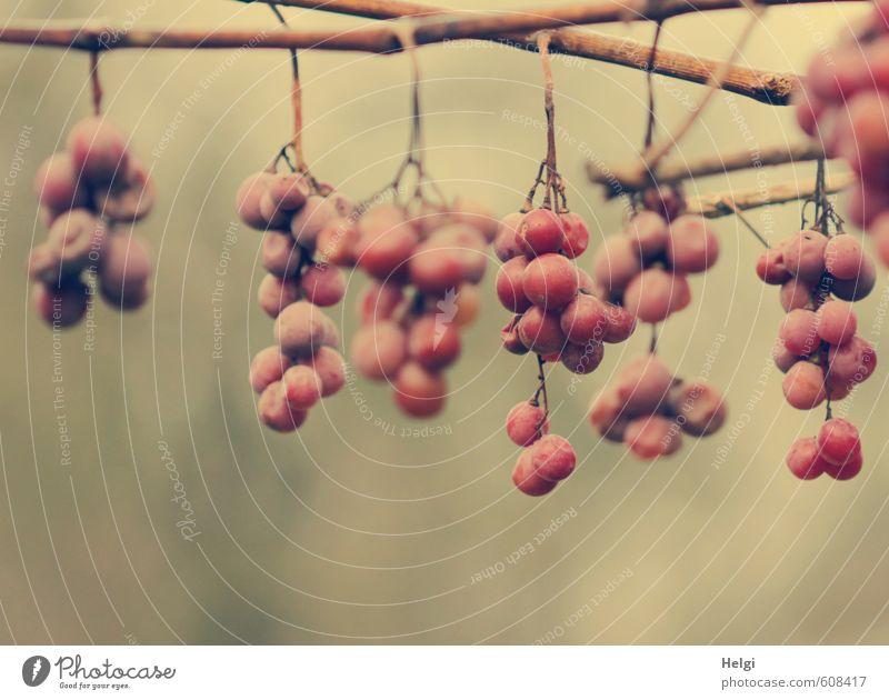 Restbestände... Umwelt Natur Pflanze Herbst Nutzpflanze Wein Weintrauben Frucht Garten hängen dehydrieren alt authentisch außergewöhnlich einzigartig natürlich