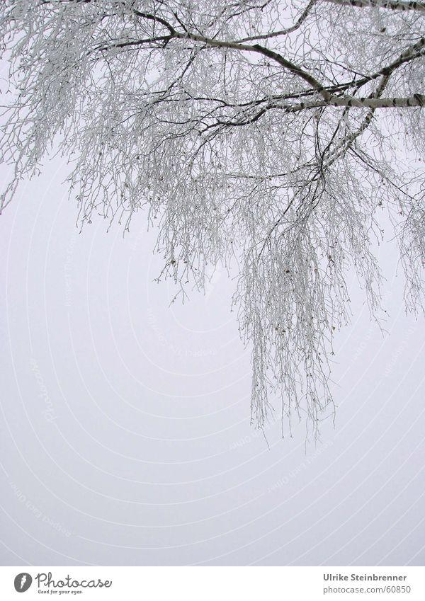 Vereiste Äste an einer Birke Gedeckte Farben Außenaufnahme Detailaufnahme Textfreiraum unten Morgen Winter Nebel Eis Frost Baum kalt Raureif Ast cold hoarfrost