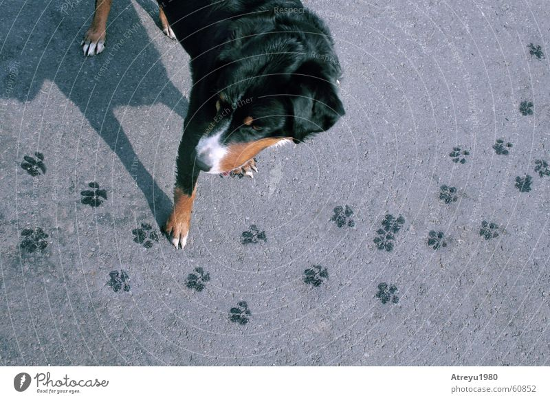 Rechts vor Links Tier Straße Hund lustig nass Asphalt Spuren Fußspur Pfote Haustier Berner Sennenhund