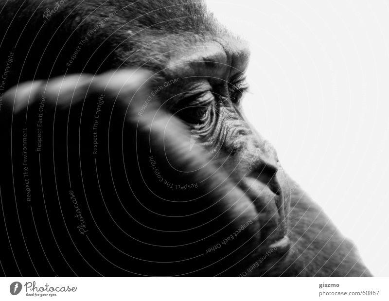 Alltag Zoo Langeweile Affen Gorilla